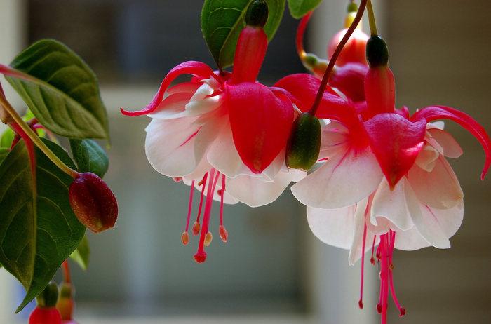 Фуксия - цветок эльфов
