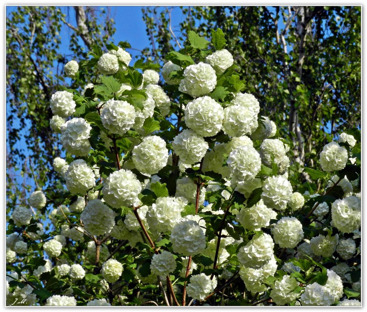 Фото цветущих кустарников с белыми цветами