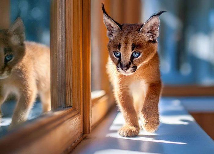 Детеныши каракала — самые очаровательные котята
