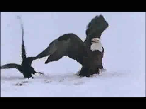 Ворон ловит рыбу на удочку