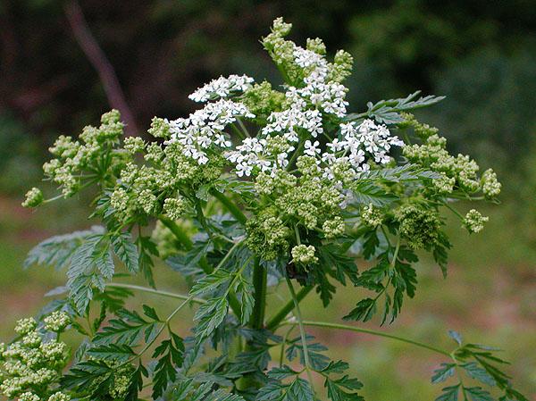 Растение, которым отравили Сократа