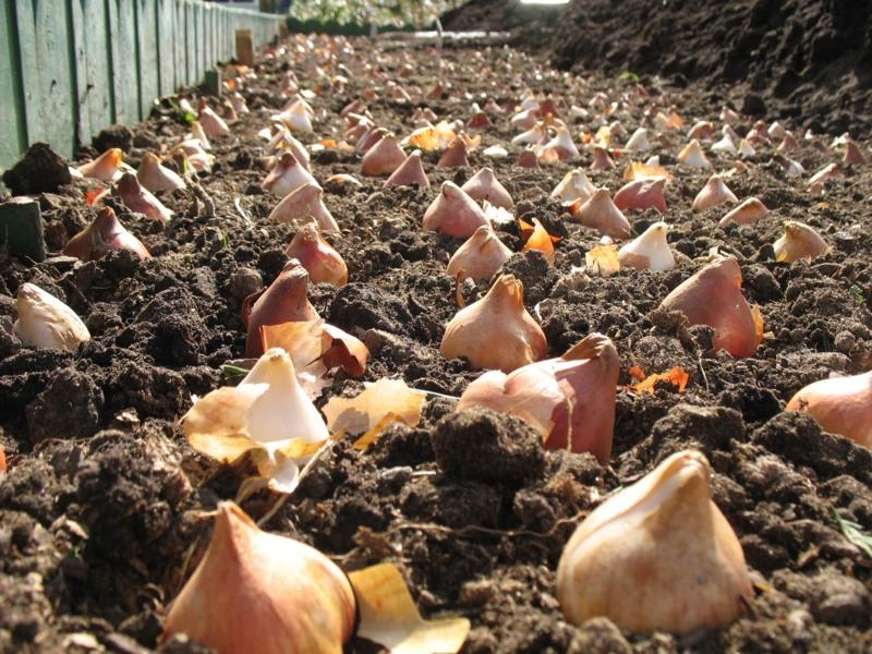 Запишите в планы: Посадить тюльпаны