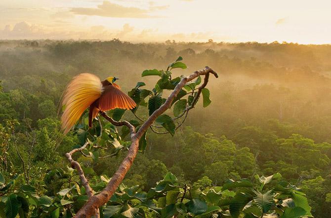 Райские птицы – тайны открываются ...