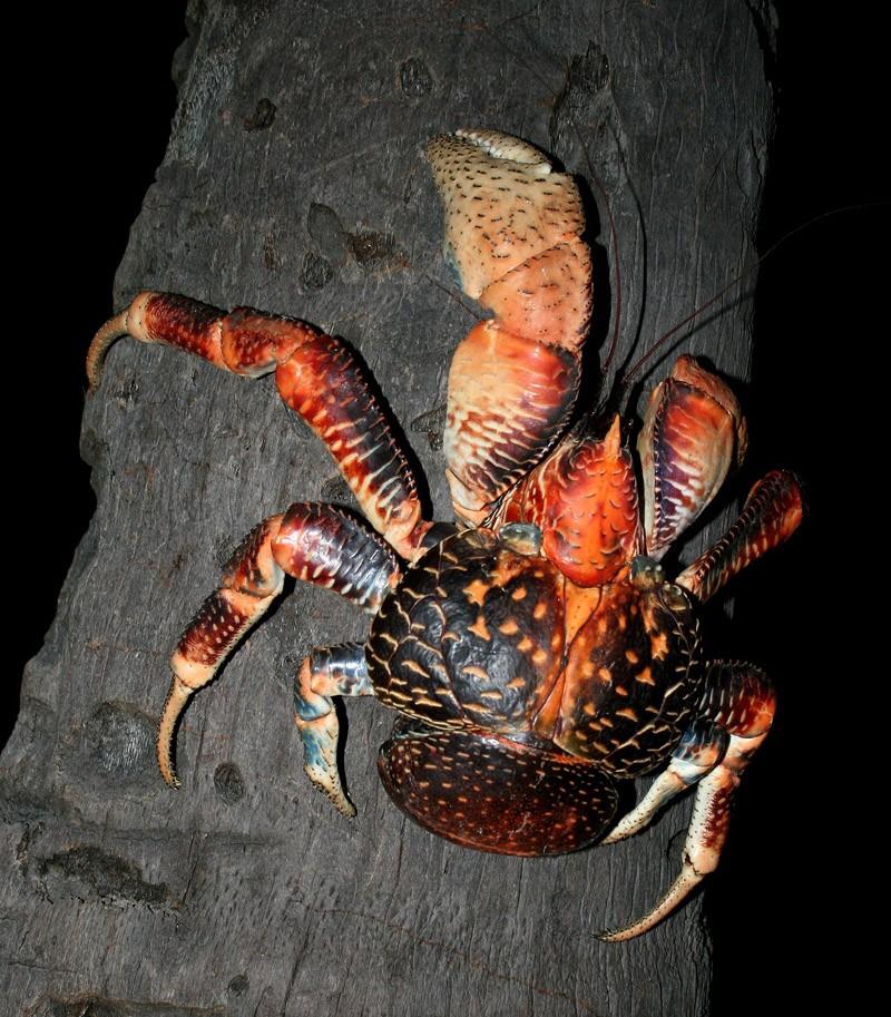 Coconutcrab05 Самый крупный представитель членистоногих, кокосовый краб!