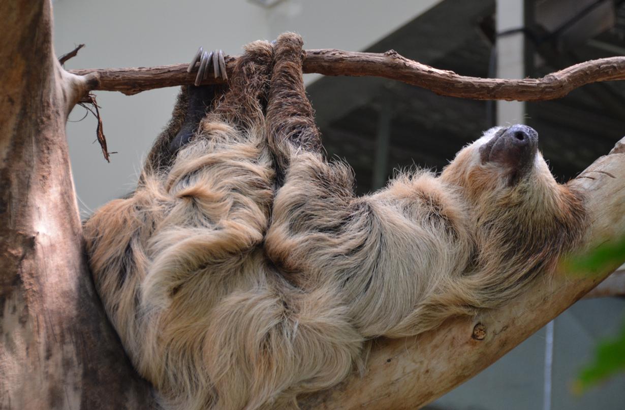 Ленивцы — профессиональные лентяи
