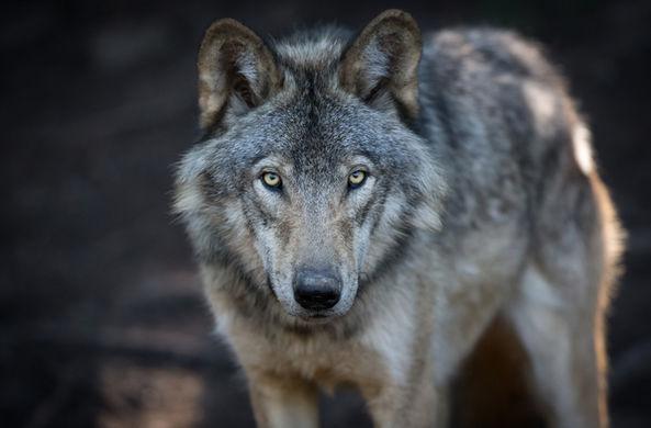 Военные оказались причиной роста популяции волков в Германии