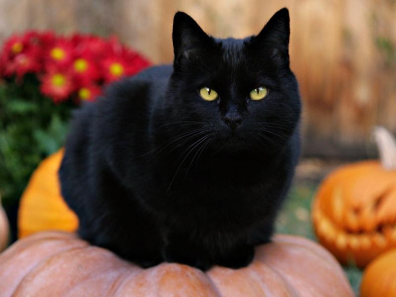 Приносят ли несчастья чёрные кошки!?