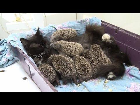 Кошка взяла на воспитание ежат после гибели их родной мамы-ежихи!