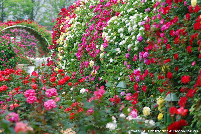 Блог - Привет.ру - Чудесное царство роз - Личный интернет дневник пользователя Ева
