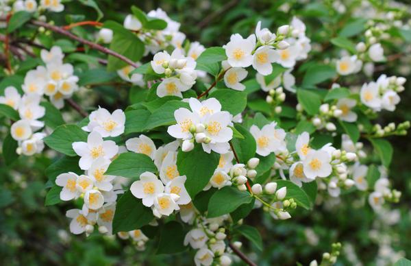 Садовый жасмин: как вырастить и размножить чубушник