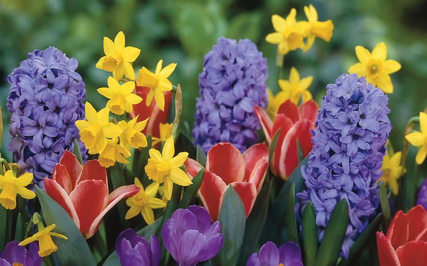 нарциссы, тюльпаны, крокусы, гиацинты
