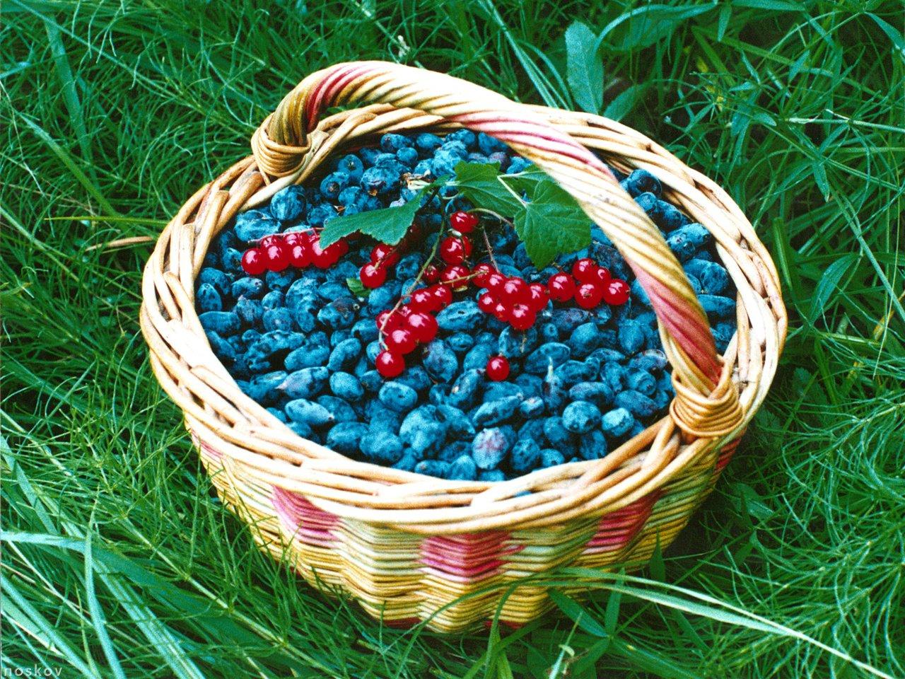 Как увеличить урожай жимолости. Секрет, который вернет жизнь любимому растению!