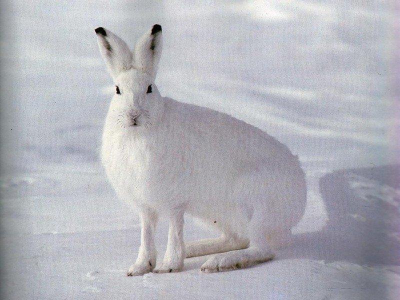 Как читать следы зайца