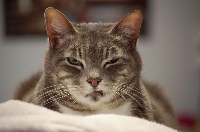 10+ самых сердитых кошек в мире, которым надоела человеческая чушь.