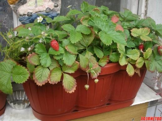 Можно ли вырастить землянику в квартире