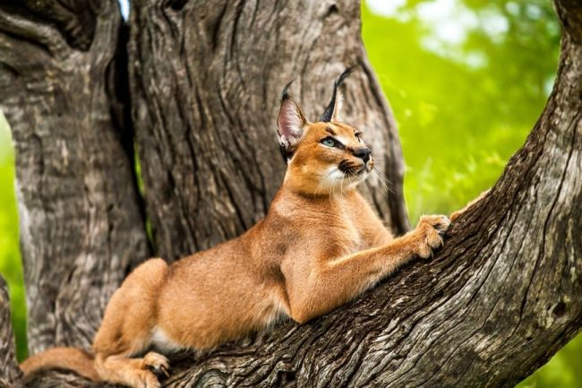 КОШКИН ДОМ. Каракал – грациозный представитель кошачьей экзотики