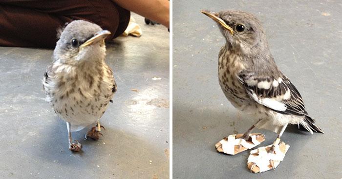 Раненой маленькой птице вылечили ноги с помощью «снегоступов»