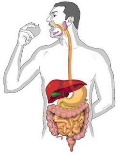 20 фактов о пищеварении