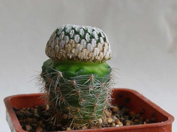 Как в домашних условиях выращивать кактусы