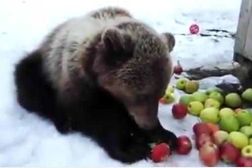 Живущий на аэродроме под Тверью медвежонок Мансур вышел из спячки, поел и снова уснул