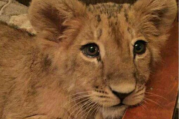 В Петербурге ищут дом для львенка, который стал докучать хозяевам
