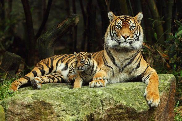 картинки на рабочий стол тигры № 512099 загрузить