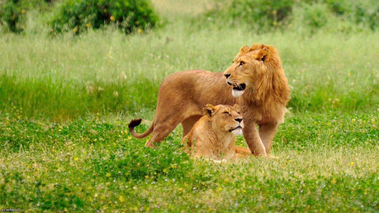 Львы тоже любят