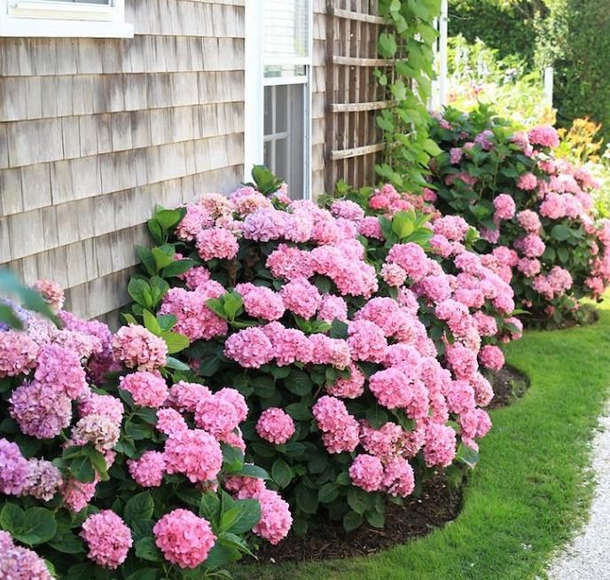 «Цветок — фиолетовое солнце» покорил мое сердце! Теперь весь сад в них…