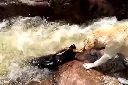 Белый лабрадор достал черного из аргентинской реки