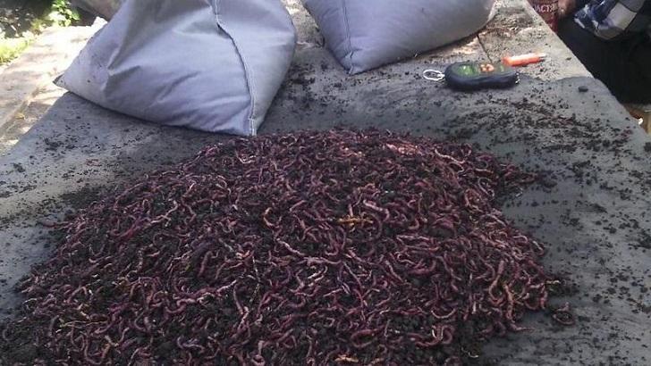 Простейший способ раздобыть червей для рыбалки. Копать не надо