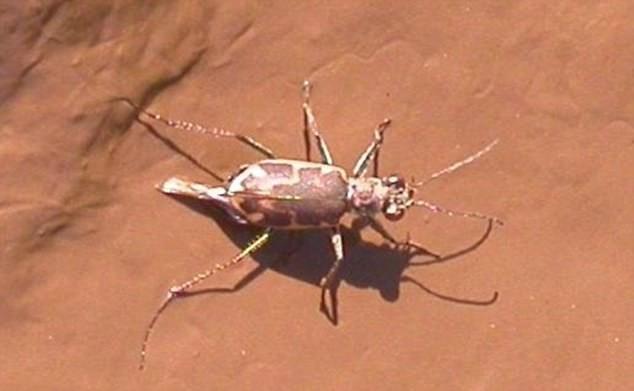 Солт-крикский жук-скакун Галапагосы, австралия, животные, интересно, мадагаскар, познавательно, редкие животные, эндемики