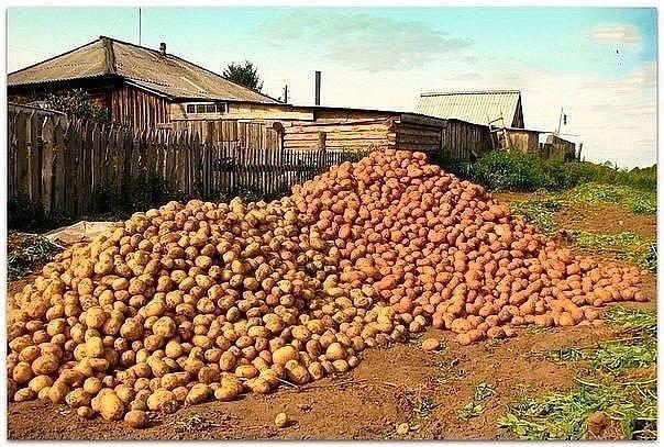 Картофель. Как с 20-ти кустов собрать 40 вёдер