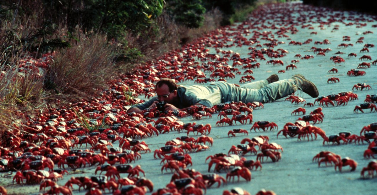 Из-за человеческой беспечности крабы могут исчезнуть с острова. Завезённые переселенцами муравьи уничтожают всех крабов, которые встречаются им на пути, так как членистоногие не научились защищаться от них.