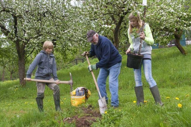 Почему не надо сажать яблоню в яму с гвоздями