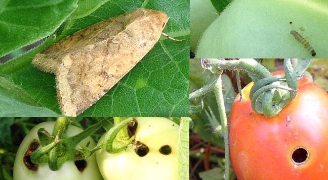 Спасаем помидоры от совки