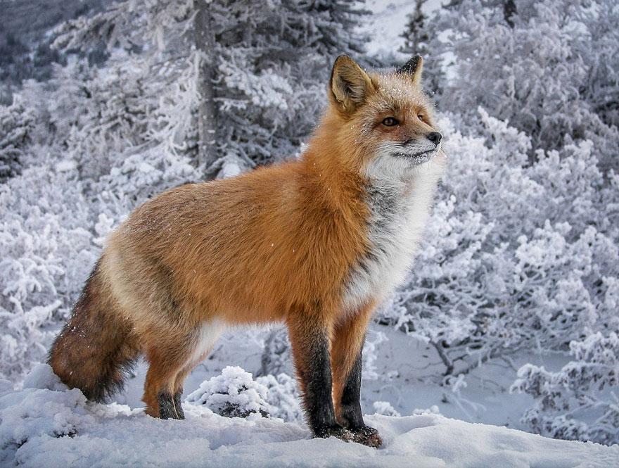Очаровательные лисы зимой