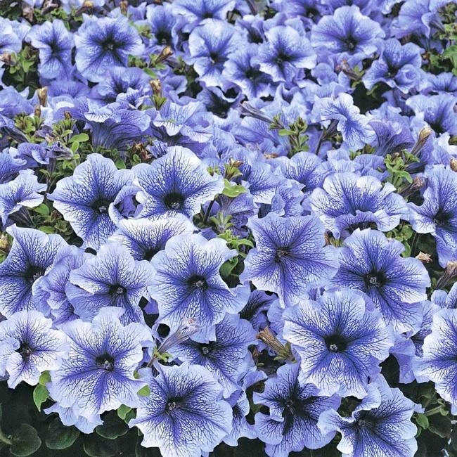 Секреты обильного цветения петуний!