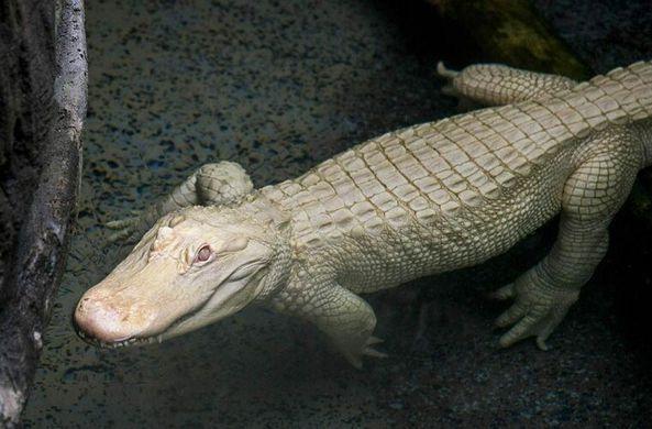 В Чикаго появился редкий аллигатор-альбинос