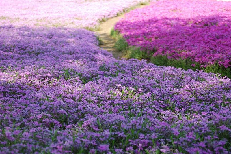 shibazakura01 Буйство красок травяной сакуры