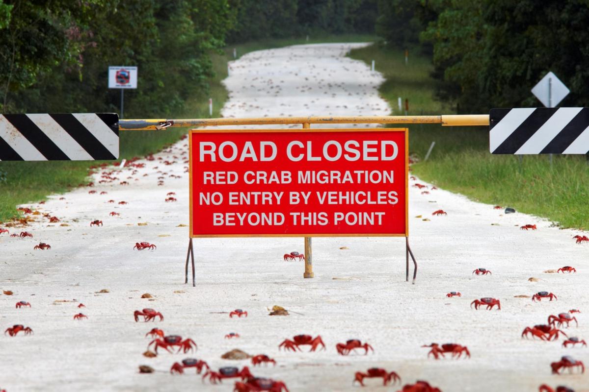 Некоторые дороги во время миграции крабов вовсе перекрывают.