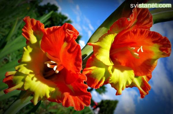 гладиолусы фото - 09