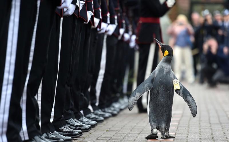 В Шотландии пингвин получил военный орден и стал полковником