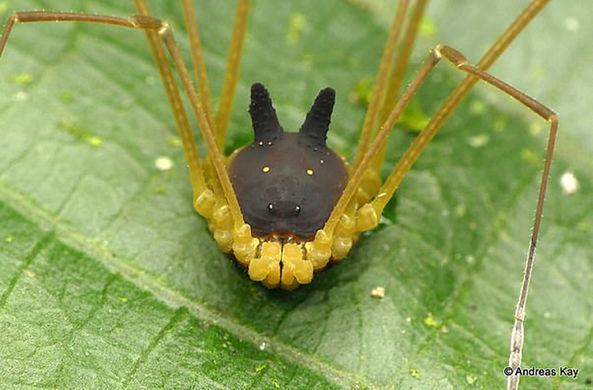 Эквадорский паучок с необычной формой тела покорил Сеть