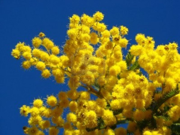 мимоза цветёт- скоро  8 марта
