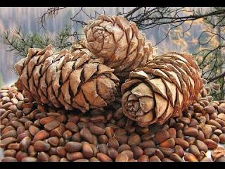 Добыча кедрового ореха - Трудный хлеб тайги