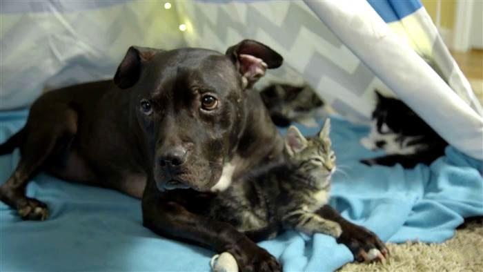 История про питбуля, который был спасён от собачьих боёв