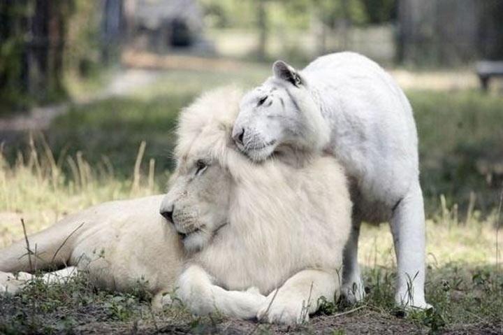 У белого льва и белой тигрицы родились потрясающие детеныши