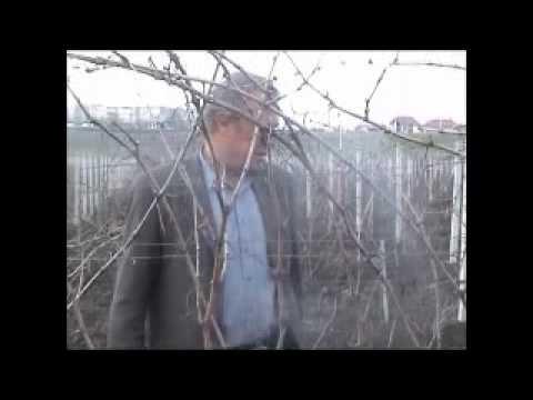 Формирование виноградного куста (part 2-3)