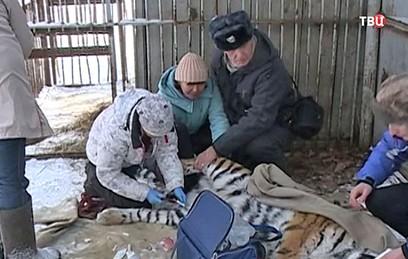 Тигра-людоеда разместили в центре реабилитации под Хабаровском
