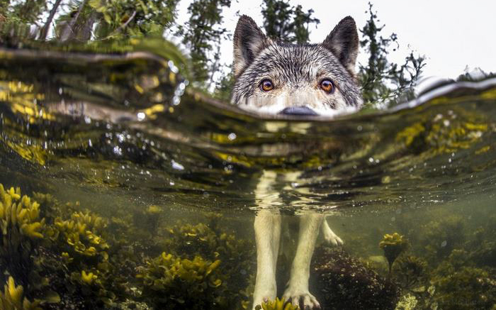 Удивительные прибрежные волки